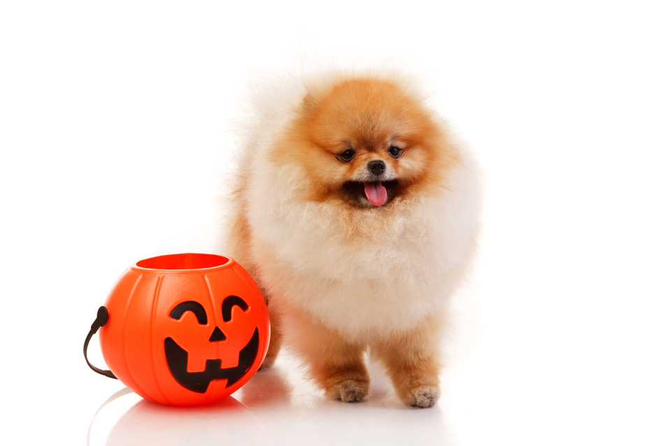 Pomeranian Spitz dog with Halloween basket studio shoot Isolated