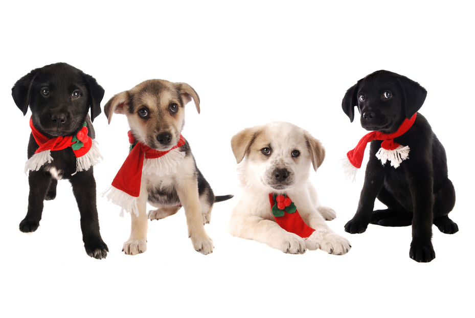 Four puppies in Holiday scarves on white, Christmas theme.